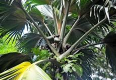 seishelskie-ostrova-seishelskie-ostrova-ostrov-mae-viktoriya-botanicheskii-sad-mont-fleuri-botanical-gardens-34760_1